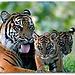 Tiger Junior