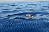 Dolphin in Açores