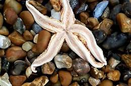 Una estrella de mar en Southsea