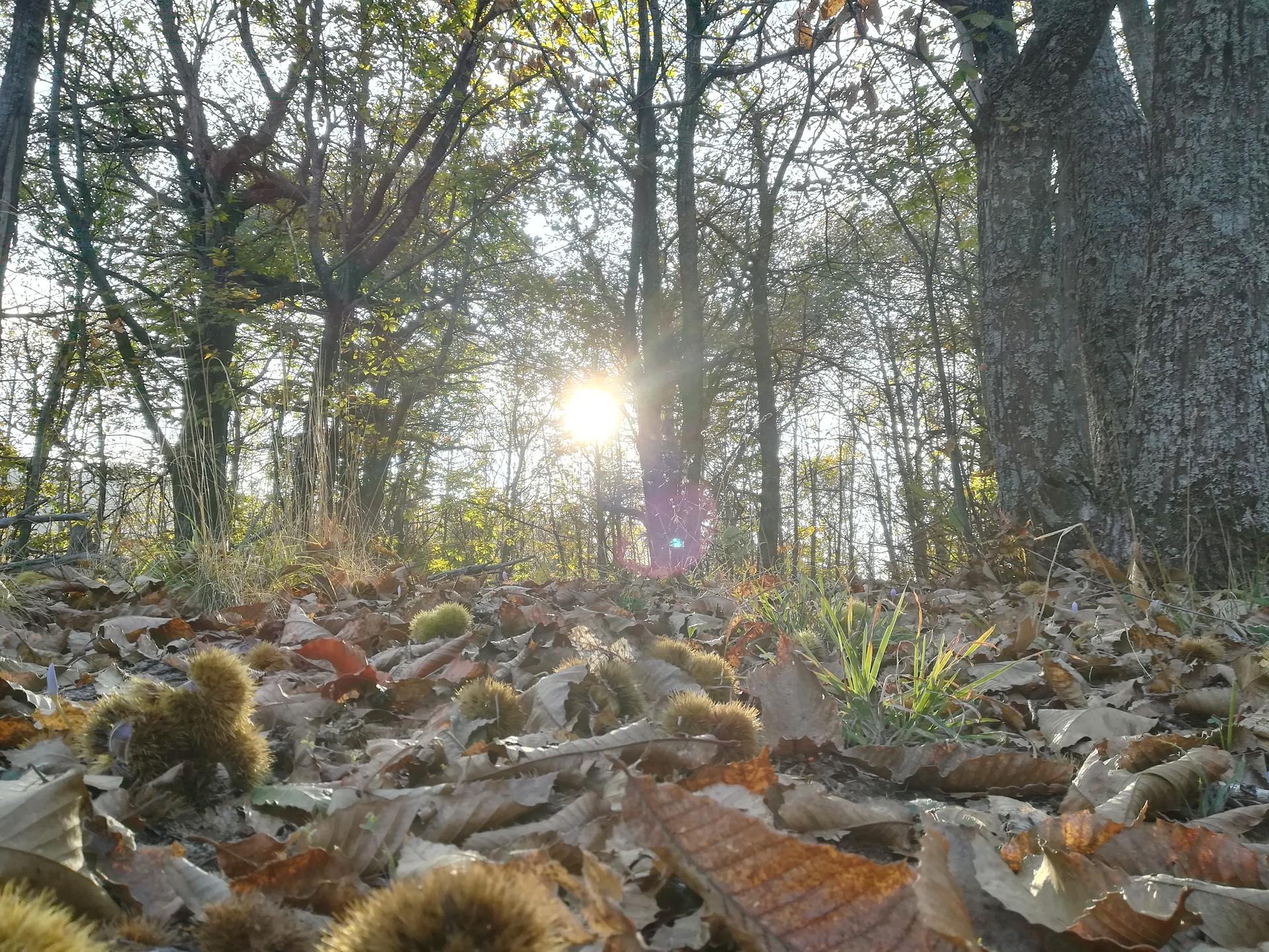 Chestnut trees , Chrotiatis