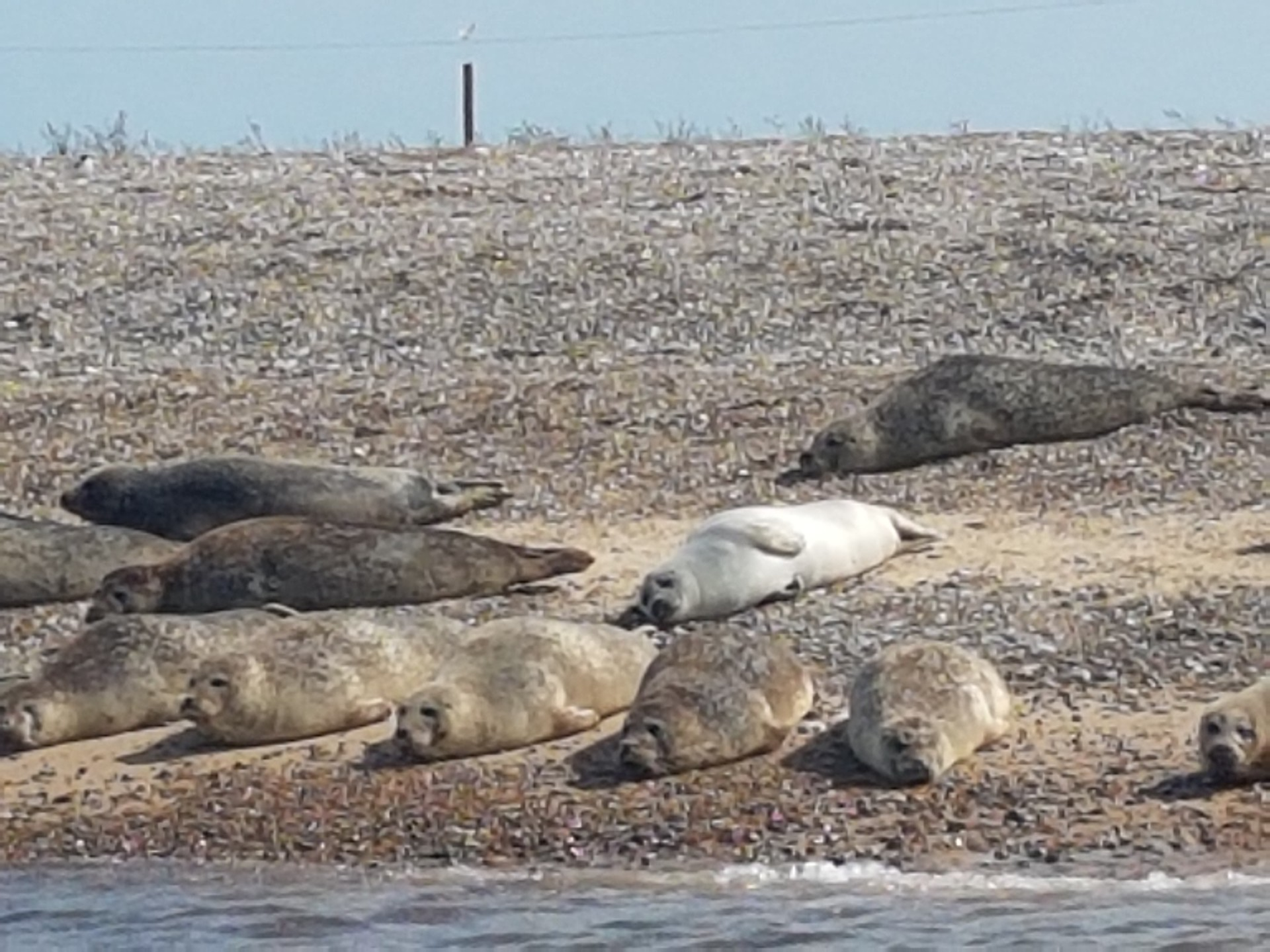 On English Soil Seals At Blakeney Point On The North